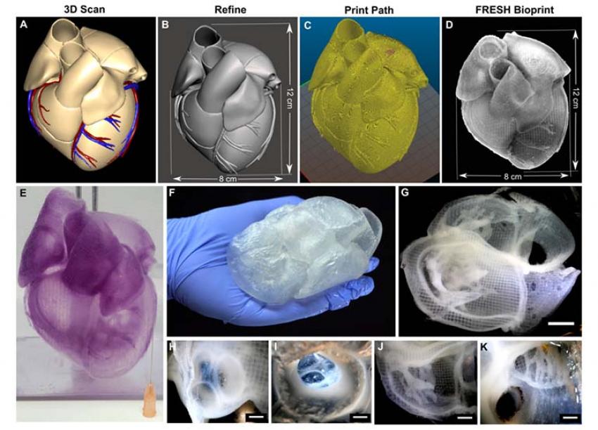 На 3D принтере удалось напечатать высокореалистичные модели сердца